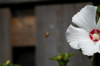 Honeybee and Rose of Sharon